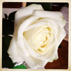 Rose-photo-blanche