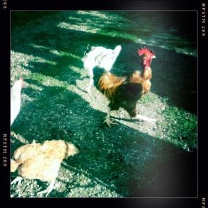 poules-basse-cour